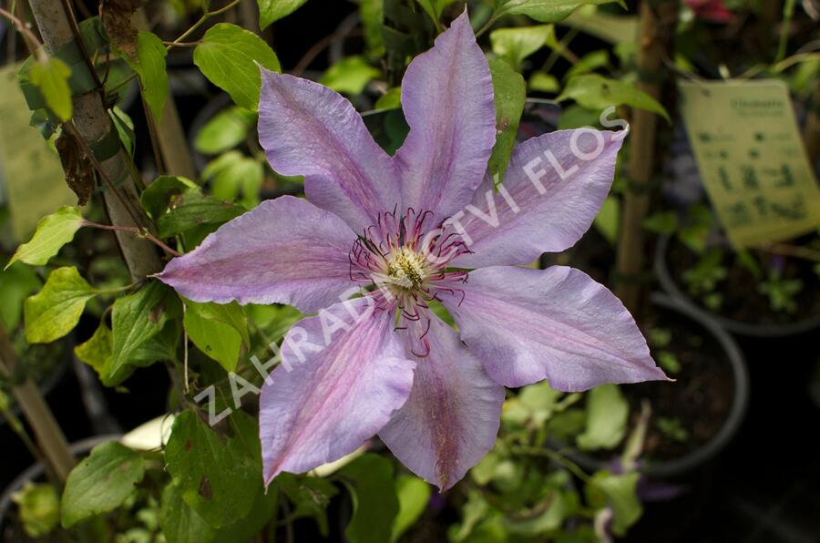 Plamének 'The First Lady' - Clematis 'The First Lady'