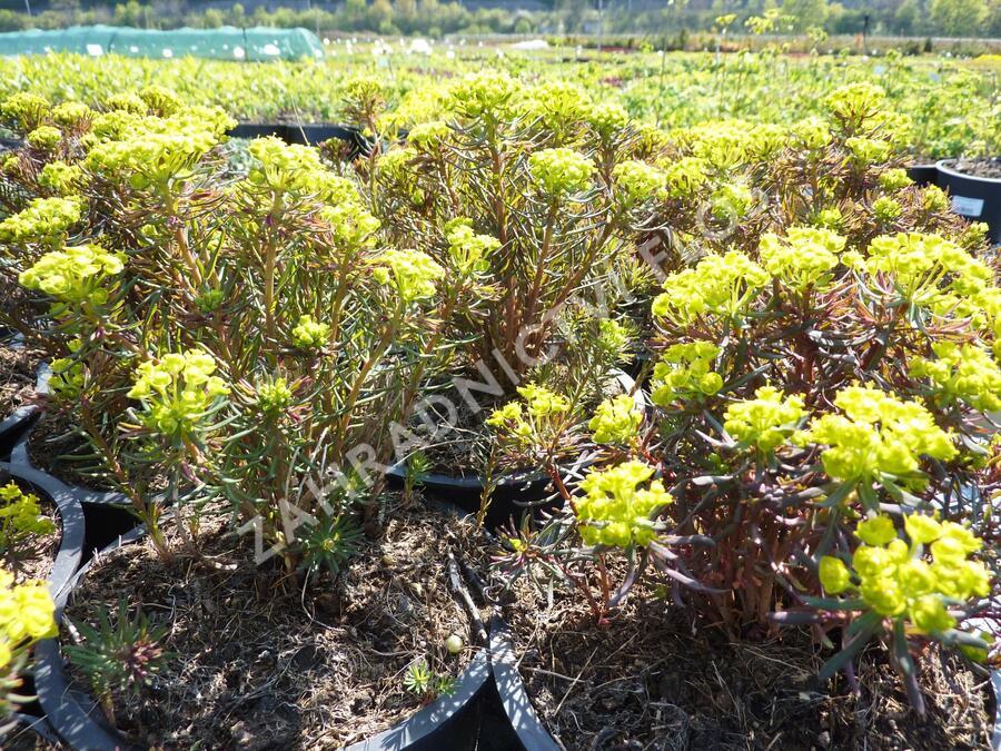 Pryšec chvojka 'Fens Ruby' - Euphorbia cyparissias 'Fens Ruby'