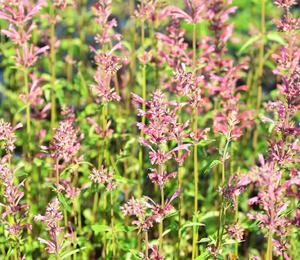 Agastache 'Raspberry Summer' - Agastache 'Raspberry Summer'
