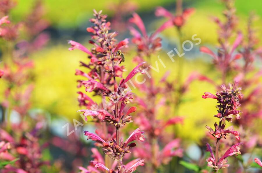 Agastache 'Raspberry Summer' - Agastache 'Raspberry Summer'