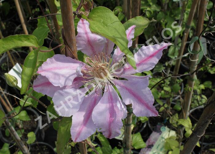 Plamének 'Bees Jubilee' - Clematis 'Bees Jubilee'