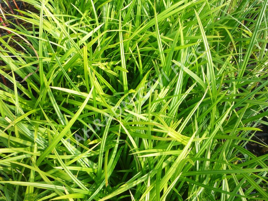 Ostřice japonská 'Irish Green' - Carex morrowii 'Irish Green'