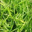 Ostřice japonská 'Irish Green' - Carex morrowii 'Irish Green'