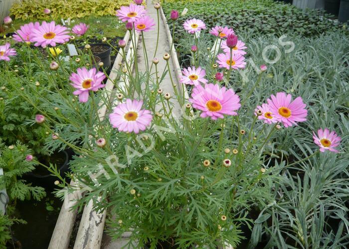 Kopretina pařížská 'Percussion Rose' - Argyranthemum frutescens 'Percussion Rose'