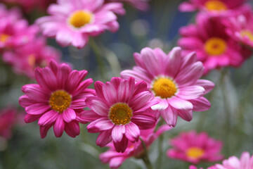 Kopretina pařížská 'Rosalie Pink' - Argyranthemum frutescens 'Rosalie Pink'