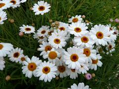 Kopretina pařížská 'Percussion Teddy White' - Argyranthemum frutescens 'Percussion Teddy White'