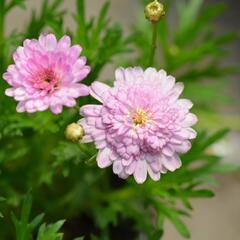 Kopretina pařížská 'Honeybees Summer Drops' - Argyranthemum frutescens 'Honeybees Summer Drops'