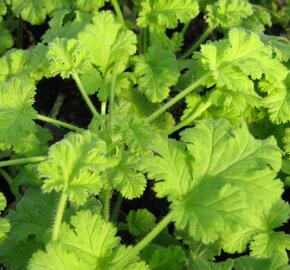 Muškát, pelargonie vonná 'Hazelnut' - Pelargonium odoratissimum 'Hazelnut'