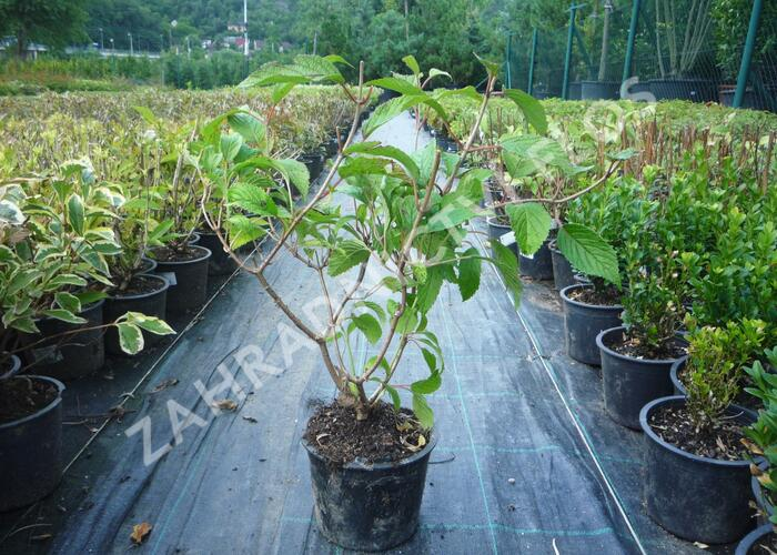 Kalina japonská 'Shoshoni' - Viburnum plicatum 'Shoshoni'