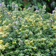 Mateřídouška 'Sambesi' - Thymus x citriodorus 'Sambesi'
