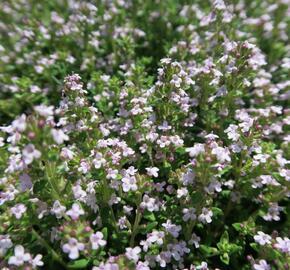 Tymián obecný 'Fredo' - Thymus vulgaris 'Fredo'