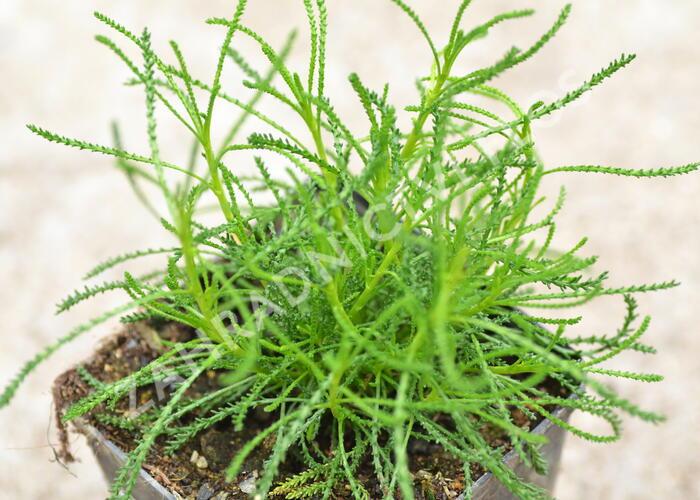 Svatolina 'Olivia' - Santolina viridis 'Olivia'