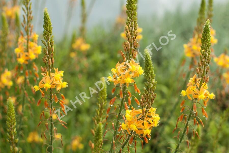 Bulbine 'Medicus' - Bulbine frutescens 'Medicus'