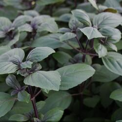 Bazalka 'Magic Blue' - Ocimum hybrida 'Magic Blue'