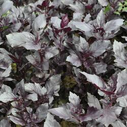 Bazalka pravá 'Chianti' - Ocimum basilicum 'Chianti'