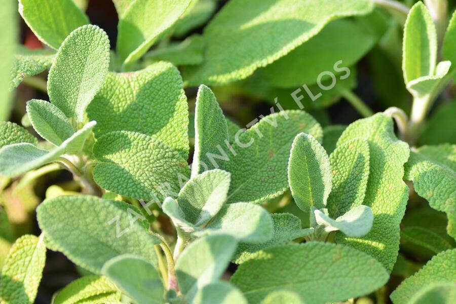 Šalvěj lékařská 'Berggarten' - Salvia officinalis 'Berggarten'