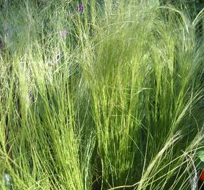 Kavyl péřovitý 'Ponytails' - Stipa tenuissima 'Ponytails'