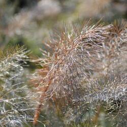 Fenykl obecný 'Smokey' - Foeniculum vulgare 'Smokey'