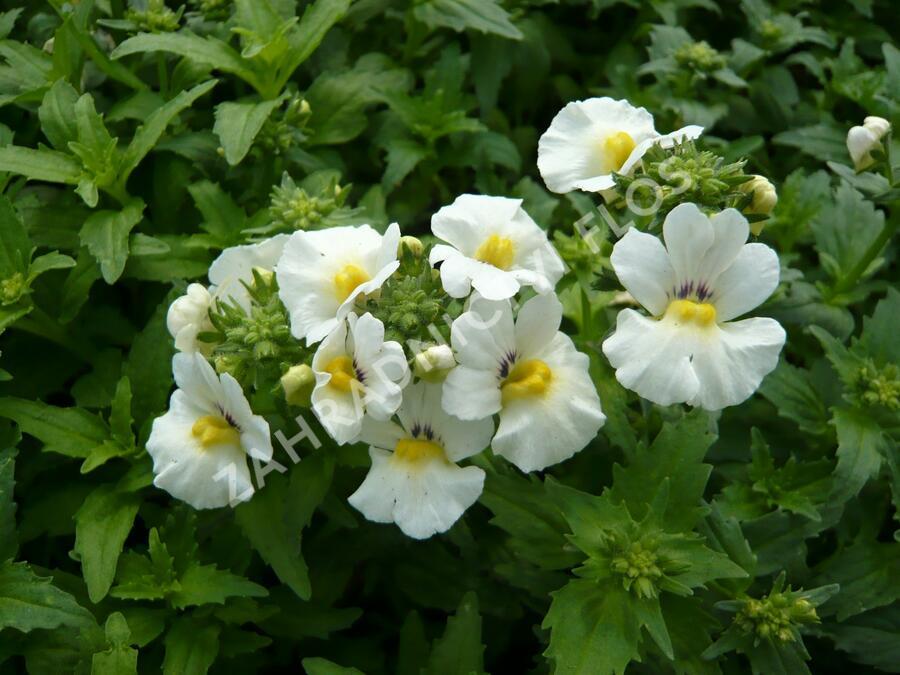 Hledíkovka 'Angelart Almond' - Nemesia hybrida 'Angelart Almond'