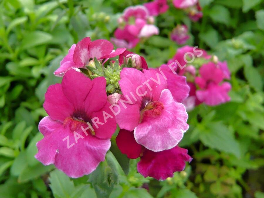 Hledíkovka 'Angelart Raspberry' - Nemesia hybrida 'Angelart Raspberry'