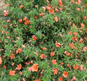 Drchnička velkokvětá 'Angie Orange' - Anagalis monelli 'Angie Orange'