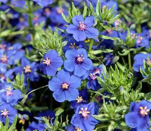 Drchnička velkokvětá 'Angie Blue' - Anagalis monelli 'Angie Blue'