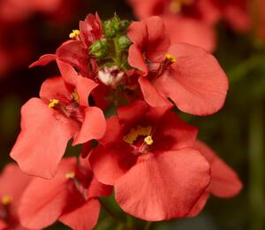 Ostruhatka 'Dark Orange' - Diascia elegans 'Dark Orange'