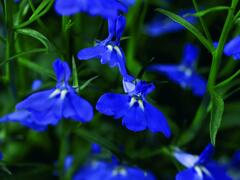 Lobelka převislá 'Angel Compact Dark Blue' - Lobelia richardii 'Angel Compact Dark Blue'