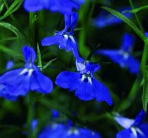 Lobelka převislá 'Angel Compact Dark Blue' - Lobelia richardii 'Angel Compact Dark Blue'