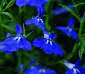 Lobelka převislá 'Angel Dark Blue' - Lobelia richardii 'Angel Dark Blue'