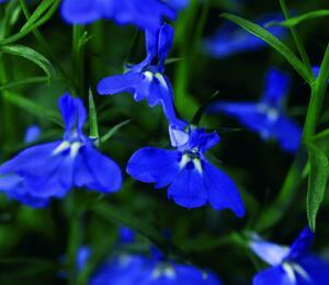 Lobelka převislá 'Angel Blue' - Lobelia richardii 'Angel Blue'