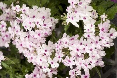 Verbena, sporýš 'Vectura Soft Pink Eye' - Verbena 'Vectura Soft Pink Eye'