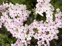 Verbena, sporýš 'Vectura Soft Pink Eye' - Verbena 'Vectura Soft Pink Eye'