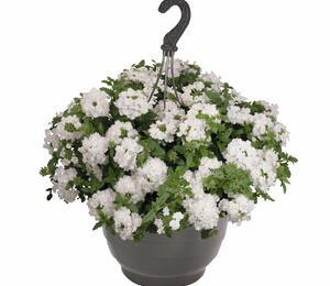 Verbena, sporýš 'Empress Sun White' - Verbena hybrida 'Empress Sun White'