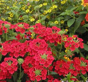 Verbena, sporýš 'Empress Sun Red' - Verbena hybrida 'Empress Sun Red'