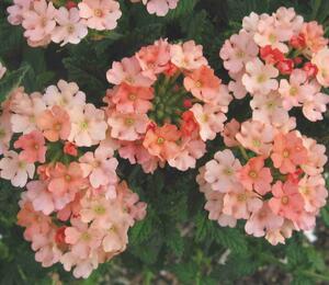 Verbena, sporýš 'Samira Peach' - Verbena 'Samira Peach'