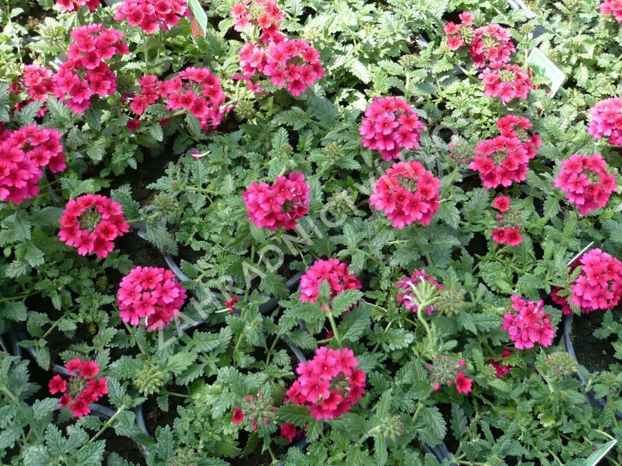 Verbena, sporýš 'Samira Rose' - Verbena 'Samira Rose'