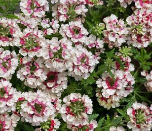 Verbena, sporýš 'Lanai Vintage Rose' - Verbena 'Lanai Vintage Rose'