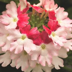 Verbena, sporýš 'Wicked Hot Pink' - Verbena hybrida 'Wicked Hot Pink'