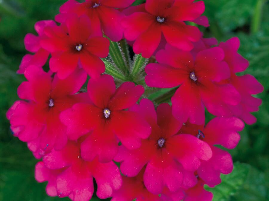 Verbena, sporýš 'Summerdreams Burgundy' - Verbena 'Summerdreams Burgundy'