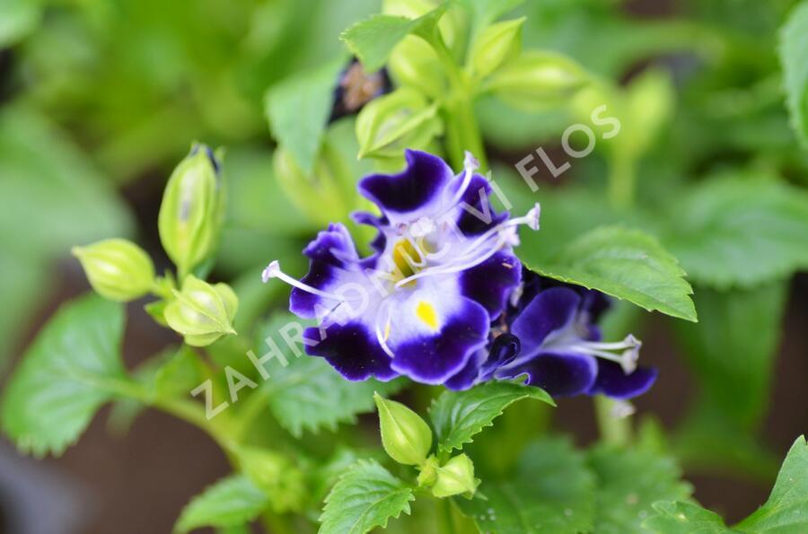 Torenie 'Deep Blue' - Torenia hybrida 'Deep Blue'