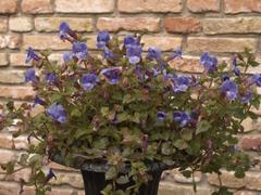 Torenie 'Blue Moon' - Torenia hybrida 'Blue Moon'