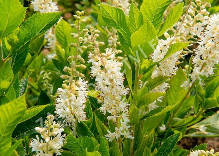 Jochovec olšolistý 'Humming Bird' - Clethra alnifolia 'Humming Bird'