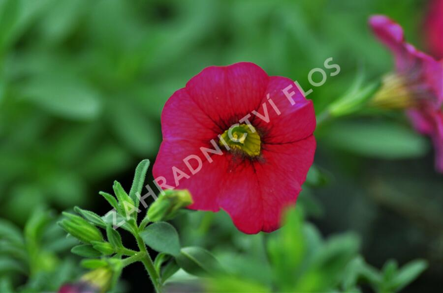 Minipetunie, Million Bells 'Sweetbells Cherry Red Morn' - Calibrachoa 'Sweetbells Cherry Red Morn'