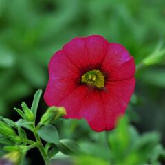 Minipetunie, Million Bells 'Sweetbells Cherry Red Morn' - Calibrachoa 'Sweetbells Cherry Red Morn'