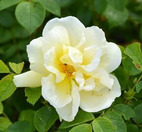 Růže svraskalá 'Gelbe Dagmar Hastrup' - Rosa rugosa 'Gelbe Dagmar Hastrup'