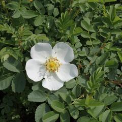 Růže bedrníkolistá - Rosa pimpinelifolia
