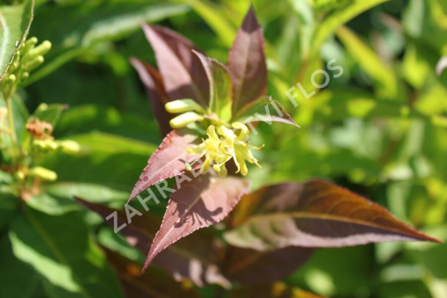 Zanice bezřapíčná 'Butterfly' - Diervilla sessilifolia 'Butterfly'