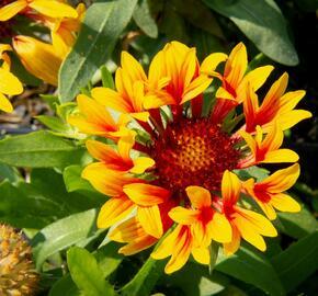 Kokarda velkokvětá 'Fanfare' - Gaillardia grandiflora 'Fanfare'