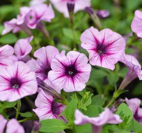 Petúnie 'Pink Vein' - Petunia Surfinia 'Pink Vein'